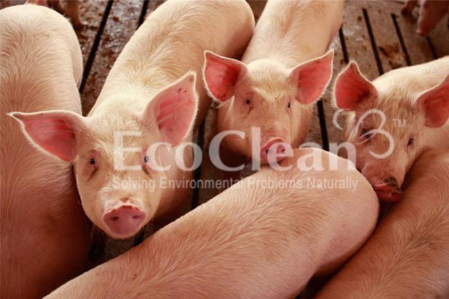 Vi sinh xử lý nước thải trang trại nuôi - EcoClean 501